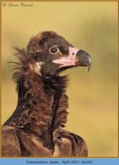 black-vulture-10.jpg