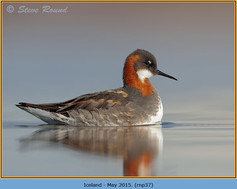red-necked-phalarope-37.jpg