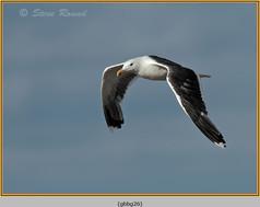 gt-b-backed-gull-26.jpg