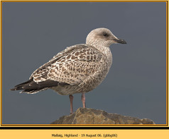 gt-b-backed-gull-06.jpg