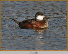 ruddy-duck-01.jpg
