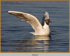 black-headed-gull-14.jpg