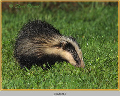 badger-26.jpg