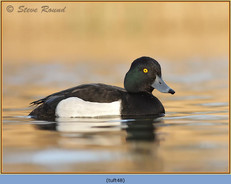tufted-duck-48.jpg