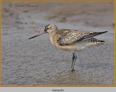 bar-tailed-godwit-36.jpg