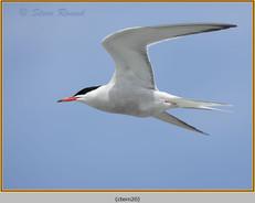 common-tern-20.jpg