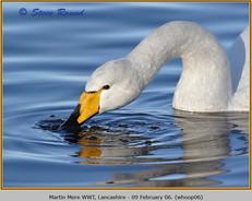 whooper-swan-06.jpg