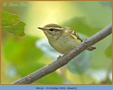 yellow-browed-warbler-01.jpg