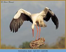 white-stork-38.jpg