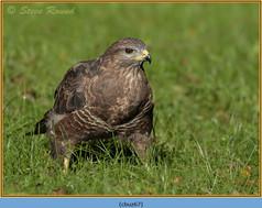buzzard- 67.jpg