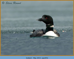 great-northern-diver-45.jpg