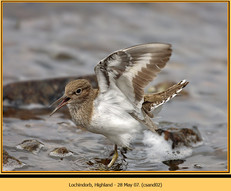 common-sandpiper-02.jpg