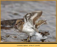 common-sandpiper-02.jpg