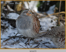 grey-partridge-10.jpg