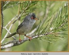 balearic-warbler-06.jpg