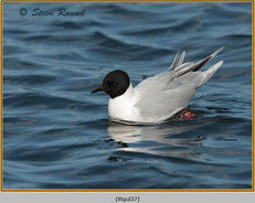 little-gull-37.jpg