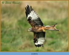 red-kite-45.jpg