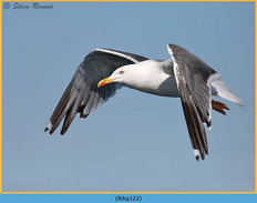lesser-black-backed-gull-122.jpg