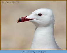 audouin's-gull-20.jpg