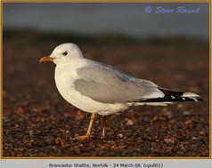 common-gull-01.jpg