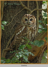 tawny-owl-16.jpg
