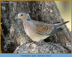turtle-dove-11.jpg