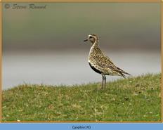 golden-plover-19.jpg
