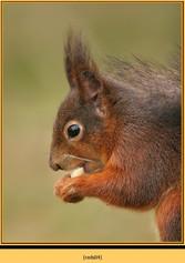 red-squirrel-04.jpg
