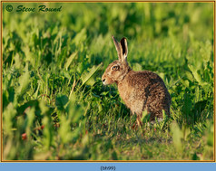 brown-hare-99.jpg