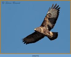 buzzard- 71.jpg