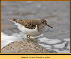 common-sandpiper-04.jpg