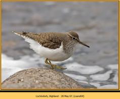 common-sandpiper-04.jpg