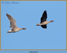 pink-footed-goose-50.jpg