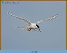 arctic-tern-65.jpg