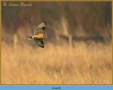 short-eared-owl-60.jpg