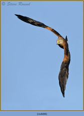 red-kite-88.jpg