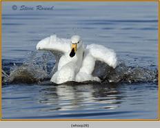 whooper-swan-28.jpg