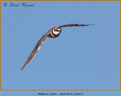 little-ringed-plover-27.jpg