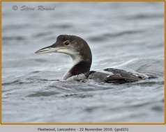 great-northern-diver-25.jpg