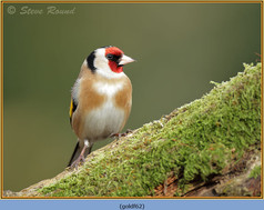 goldfinch-62.jpg