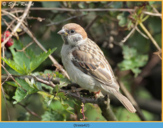 tree-sparrow-42.jpg