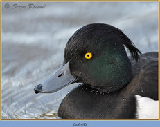 tufted-duck-49.jpg