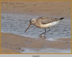 bar-tailed-godwit-29.jpg