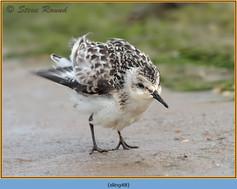 sanderling-48.jpg