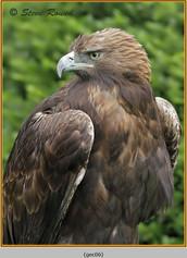 golden-eagle(c)-06.jpg