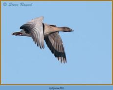 pink-footed-goose-79.jpg