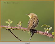 grasshopper-warbler-48.jpg