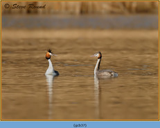 great-crested-grebe-37.jpg