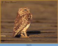 little-owl-35.jpg
