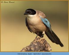 azure-winged-magpie-25.jpg